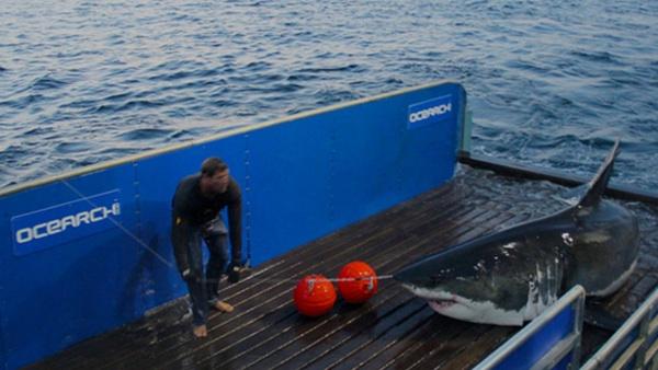 Anche gli squali tracciati con il GPS