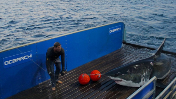 Even sharks tracked with GPS