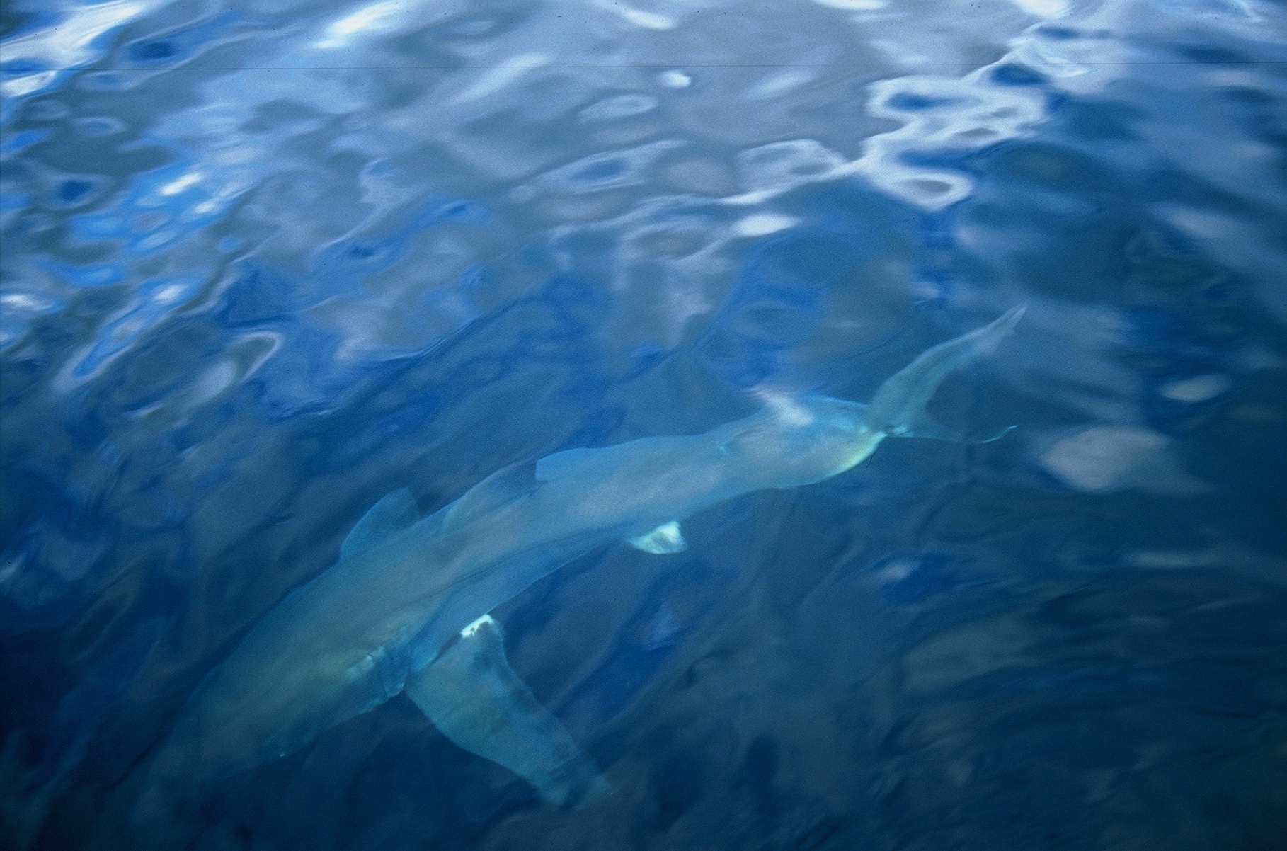 Australia: the face-to-face with a giant shark filmed by a waterproof camera
